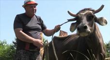 Referendum in Svizzera sulle corna delle mucche: si vota domenica 25 novembre