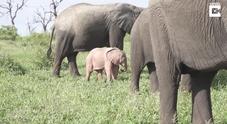 Una immagine del rarissimo elefantino rosa (foto e video di Timothy Jansen Van Vuuren)
