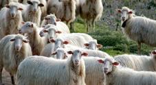 Il cane Husky rincorre le pecore: pastore lo allontana col bastone, scoppia la lite