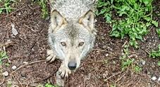 Un lupo. (foto di Remo Sabatini)