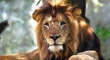 Leonessa sbrana il compagno allo zoo davanti ai cuccioli: è la prima volta che accade