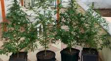 Sorpreso con quattro piante di marijuana. Professionista arrestato dai carabinieri