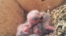 Nuove nascite a Zoomarine: sono nati due pappagalli, pesano 4 grammi