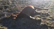 Castelli Romani, cavalla uccisa nel bosco dai bracconieri