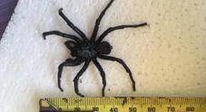 Immagine Sotto il letto trova il ragno più velenoso del mondo