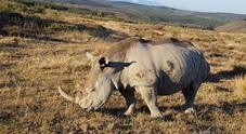 Kenya, 8 rinoceronti a rischio estinzione muoiono durante un trasferimento