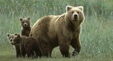 Mamma orsa scappa per salvare i suoi cuccioli, ma uno rischia di morire