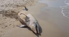 Un delfino da un quintale con ferita all'addome spiaggiato tra gli ombrelloni