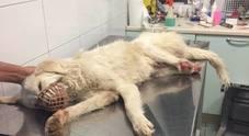 Cane con le zampe amputate da una trappola: corsa per salvarlo