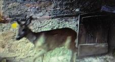 Gruppo di cacciatori cura, salva  e libera femmina di capriola gravida