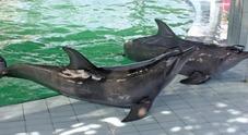 """""""Scippano denti ai delfini""""; schok nei resort indonesiani"""