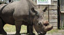 Kenya, morto Sudan: l'ultimo rinoceronte bianco