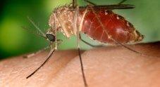 Le zanzare trasmettono il virus