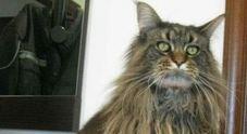 I ladri spaventano il gatto di casa