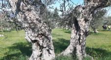 """Alla scoperta dell'oro delle Marche: tornano le """"Passeggiate tra gli olivi"""""""