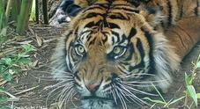 Bracconieri uccidono una tigre di Sumatra incinta di due cuccioli: ne restano solo 400 esemplari