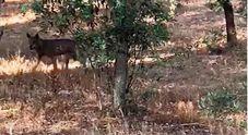 Il lupo torna nel Salento: gli avvistamenti dopo un secolo di assenza