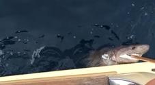 Strano ritrovamento nel mare di Ercolano il mare restituisce uno squalo morto