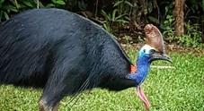 Uomo ucciso da un casuario,  l'uccello più pericoloso