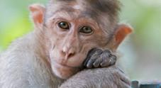 Scimmia scappa dalla gabbia: «Anche loro soffrono di paura e depressione»