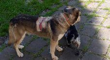 Le ferite riportate dai cani