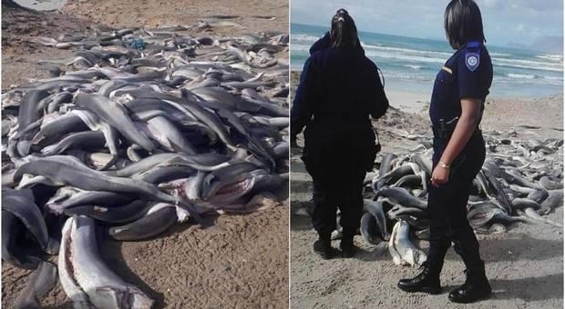Centinaia di baby squali trovati senza pinne nè testa sulla spiaggia. (immagini pubblicate da Proudly Standfontein su Fb)