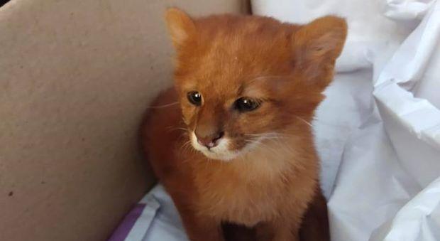 Trova un gattino in strada e lo adotta, ma poi scopre che è un cucciolo di puma