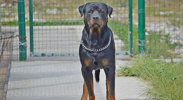 Bimbo di 8 anni sbranato dai due rottweiler di famiglia: i cani vengono abbattuti