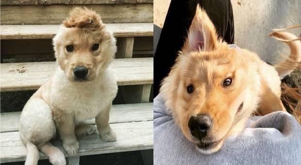 Cane unicorno, la tenera cucciolona Rae fa impazzire il web (immagini pubblicate da goldenunicornrae su Instagram)