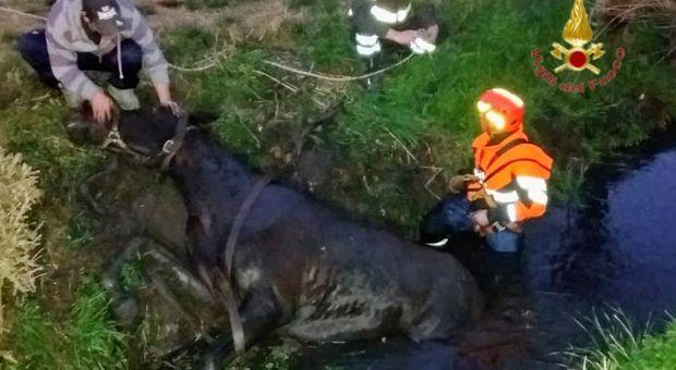 Cavallo cade nel fossato: recuperato con l'autogrù, era stremato