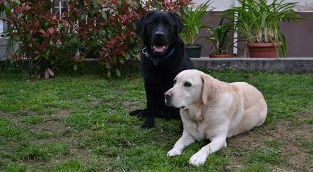 Bimba di 16 mesi azzannata al volto dal suo Labrador in casa. La mamma: «È geloso»