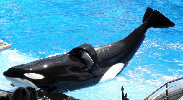Morta Tilikum, l'orca assassina di Orlando