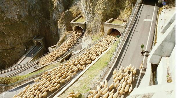 Transumanza in Veneto: un gregge risale il Passo San Boldo