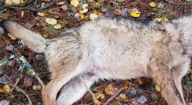 Il lupo rinvenuto decapitato in Tirolo. (immagine pubblicata da METEOWEB.EU)
