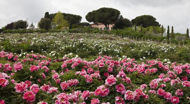 Lo spettacolo delle peonie in fiore a vitorchiano ma solo for Peonie periodo