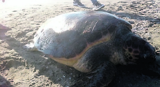 Tartaruga salvata, premio di 100 euro ai pescatori dell'area marina di Porto San Cesareo