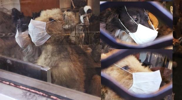 Alcuni degli animali impagliati con la mascherina esposti in vetrina. (immagini di Elena Montrasio concesse al sottoscritto)