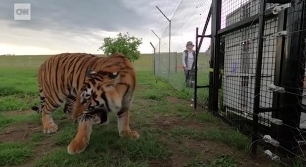 Tigri e leoni, liberati dalle gabbie del circo, sfiorano per la prima volta l'erba: le immagini toccanti (immagini pubbl da Cnn e Animal Defenders International su FB)