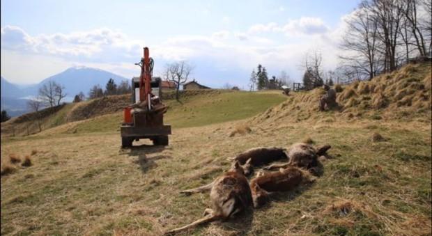 Il lupo fa strage di daini a Chies d'Alpago