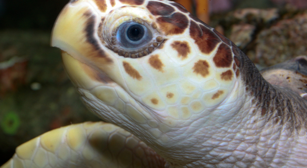 Scoperto perché le tartarughe mangiano la plastica in mare: la confondono col cibo vero