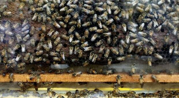 Milioni di api morte tra Brescia e Cremona (immagine pubbl da Ansa)