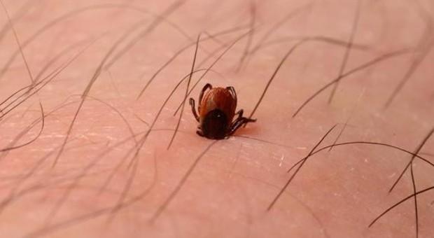 Zecche, aumentano le infezioni in Italia: colpa dell'aumento delle temperature