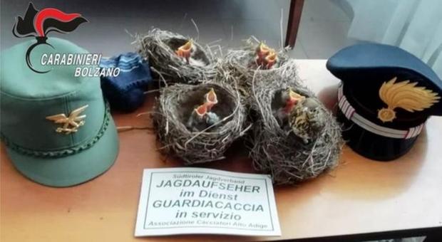 I nidi con gli uccellini sequestrati ai bracconieri (foto Carabinieri Bolzano)
