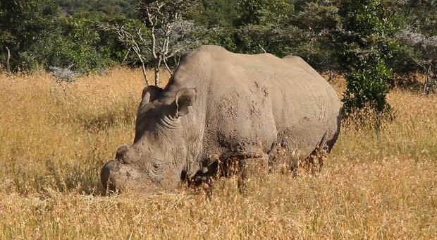Rinoceronti bianchi, passo decisivo per salvare la specie: raccolti gli ovociti delle due femmine superstiti
