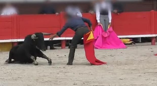 Orrore alla scuola di corrida: il giovane toro si accascia sotto il peso della stanchezza Video