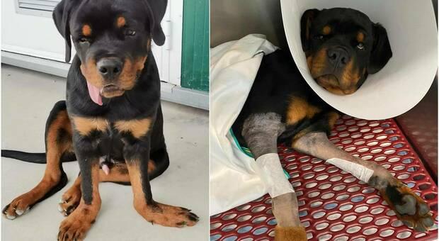 Milo, il cagnolone comprato su ebay e abbandonato perchè con le zampe a papera (immagini pubbl da Associazione LAICA di Erbusco - BS su Fb)
