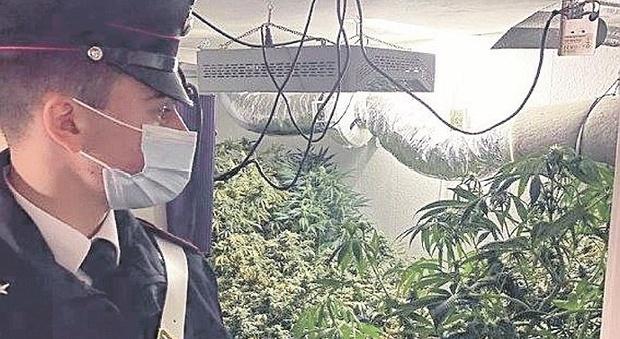 """Spopola la """"variante giamaicana"""": scoperta un'altra coltivazione, arrestato un 28enne con 10 kg di marijuana"""