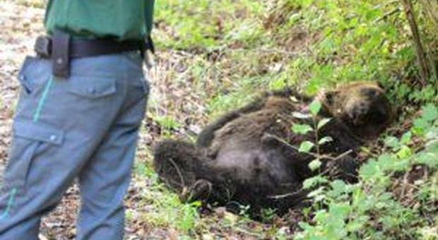 Orso ucciso a fucilate, riparte il processo all'ex operaio Anas