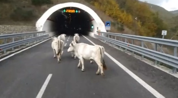 """Serravalle, mucche e vitelli """"al pascolo"""" nella galleria della superstrada: panico tra gli automobilisti"""