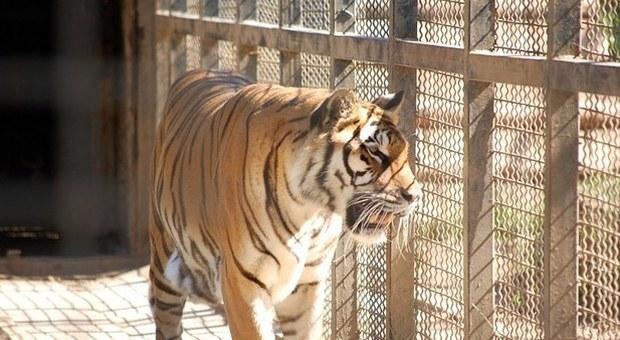 Coronavirus, positiva tigre malese dello zoo del Bronx, infettata da un uomo, leoni sotto osservazione